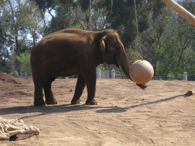 Ball playing Elephant