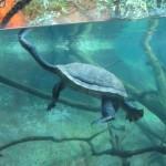Indo-Ganetic Flapshell Turtle