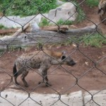 Spotted Hyena from Africa