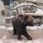 Manchurian Brown Bear