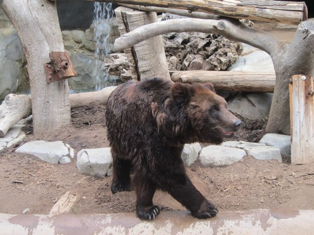 Manchurian Brown Bear