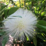 White Powder Puff Tree,  Calliandra haematocephala 'Alba'