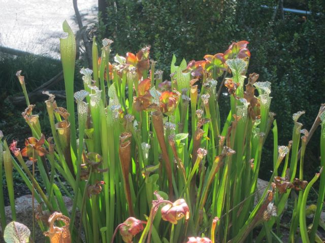 American Pitcher Plants