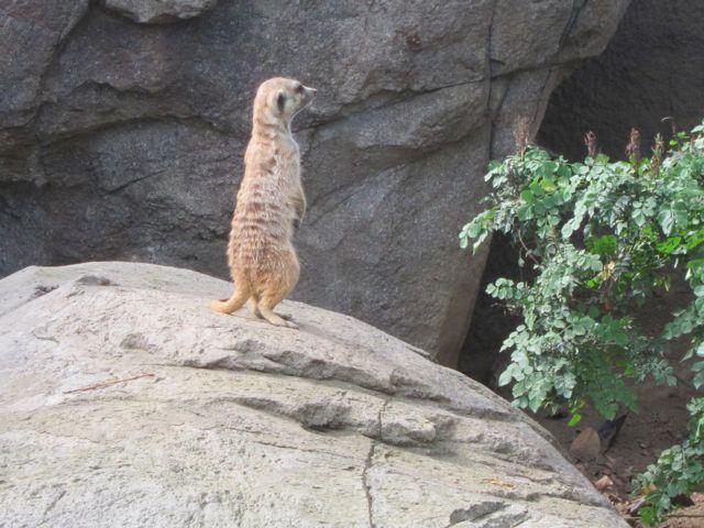 Southwest African Meerkat