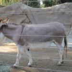 Miniature Mediterranean Donkey